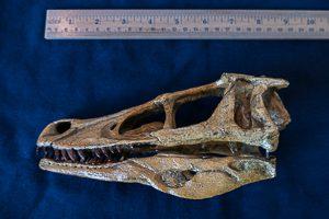 Desert drake skull, juvenile, from Akhia